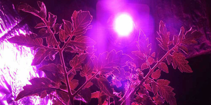 Cobra LED Grow Lights In Action